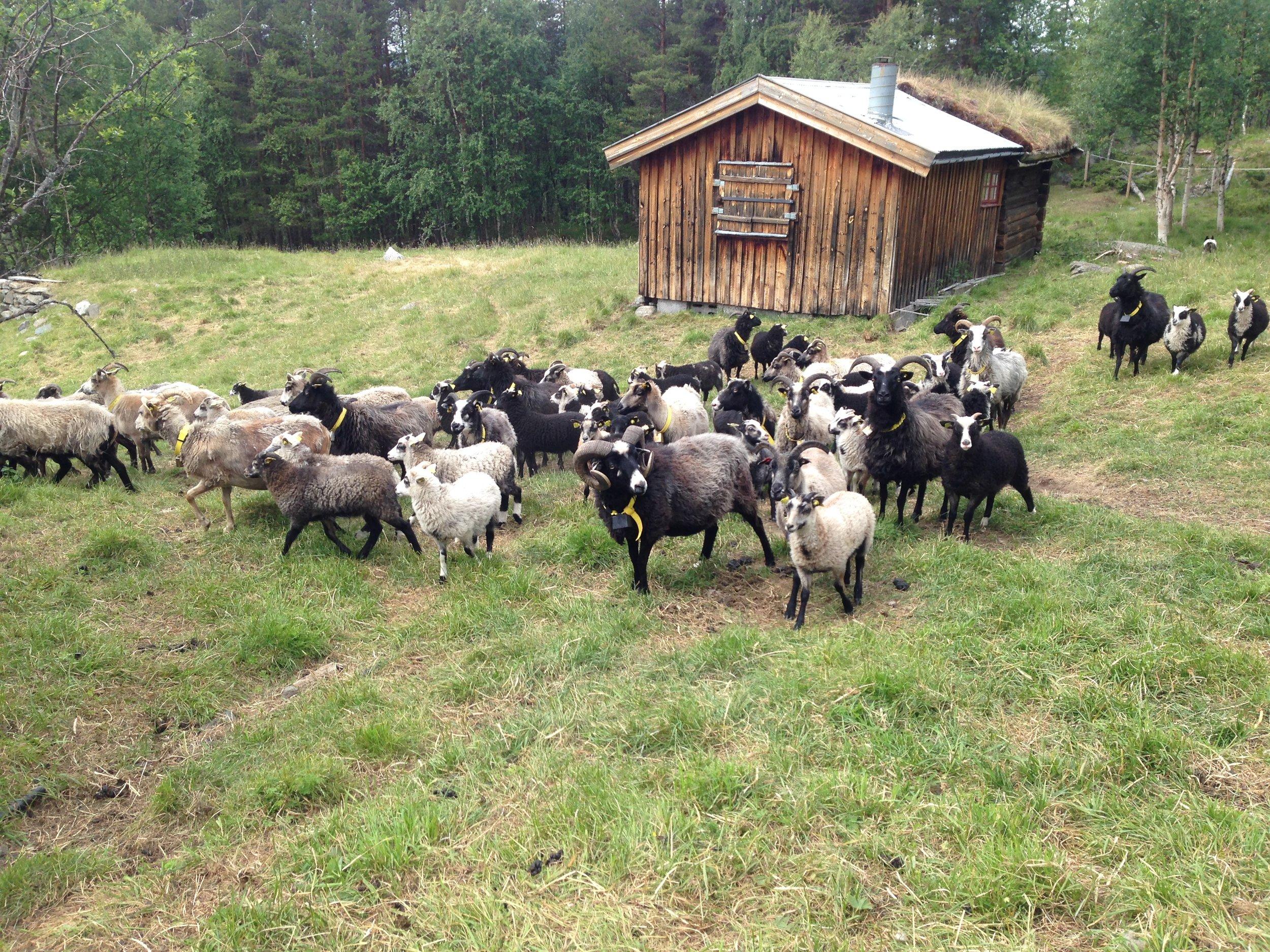 24. juni - Med Ferdinand i spissen er gjengen klare for sommerferie i fjellheimen.
