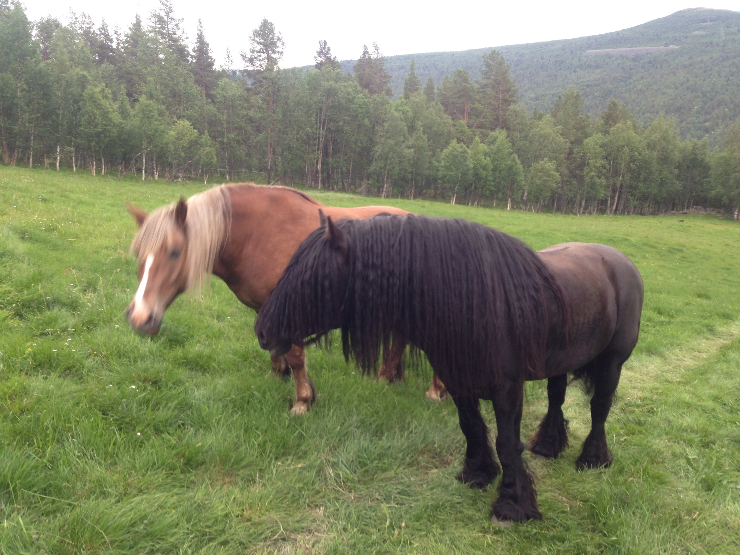 11.07.2019 - Haugajo trives godt med besøk av Vilja. Her håper vi på et flott avkom fra 2 særdeles trivelige hester.