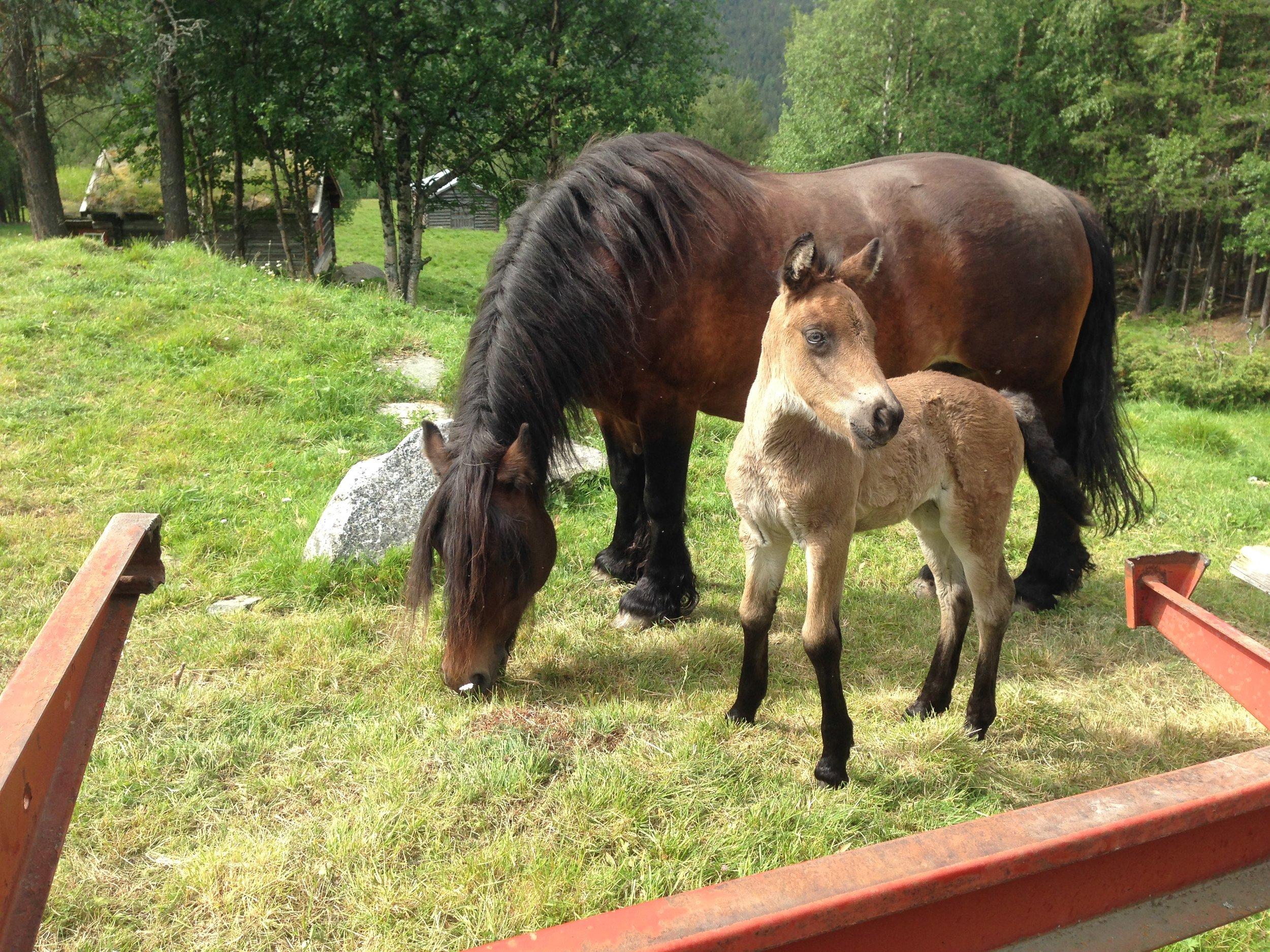 13.07.19 - fikk Haugajo også besøk av Netti med sitt nydelige 8 dagers føll.