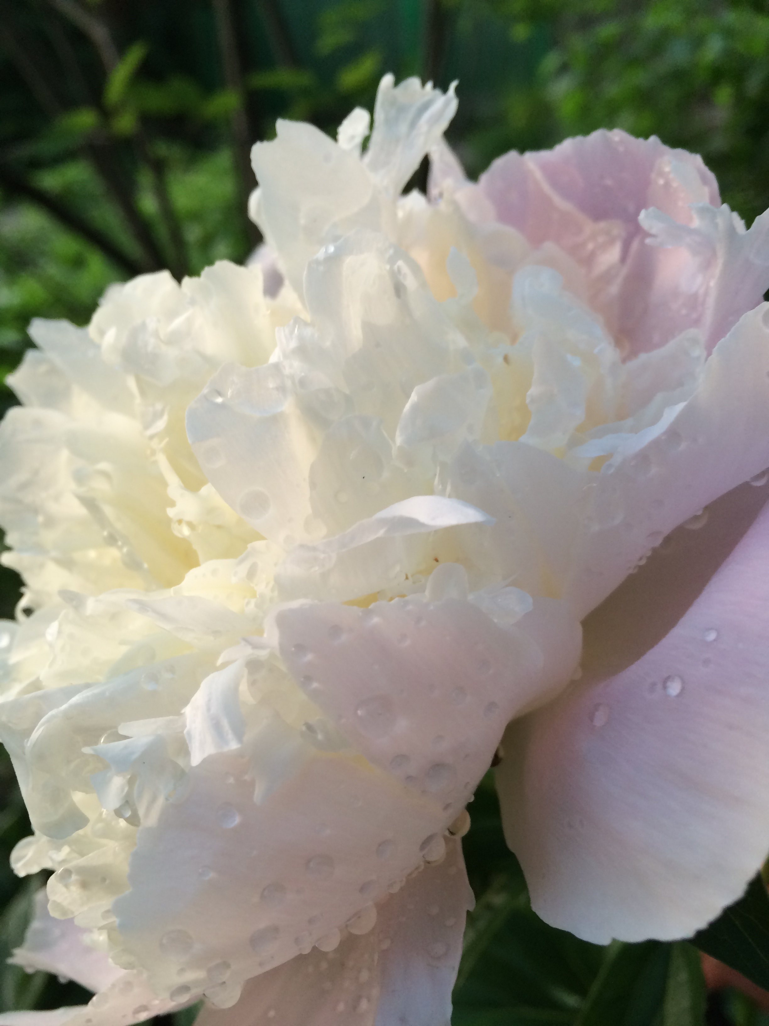 Peony in our front yard. #1 To-Do Item-See the beauty all around you. Photo credit: Ian Warren (my son!)
