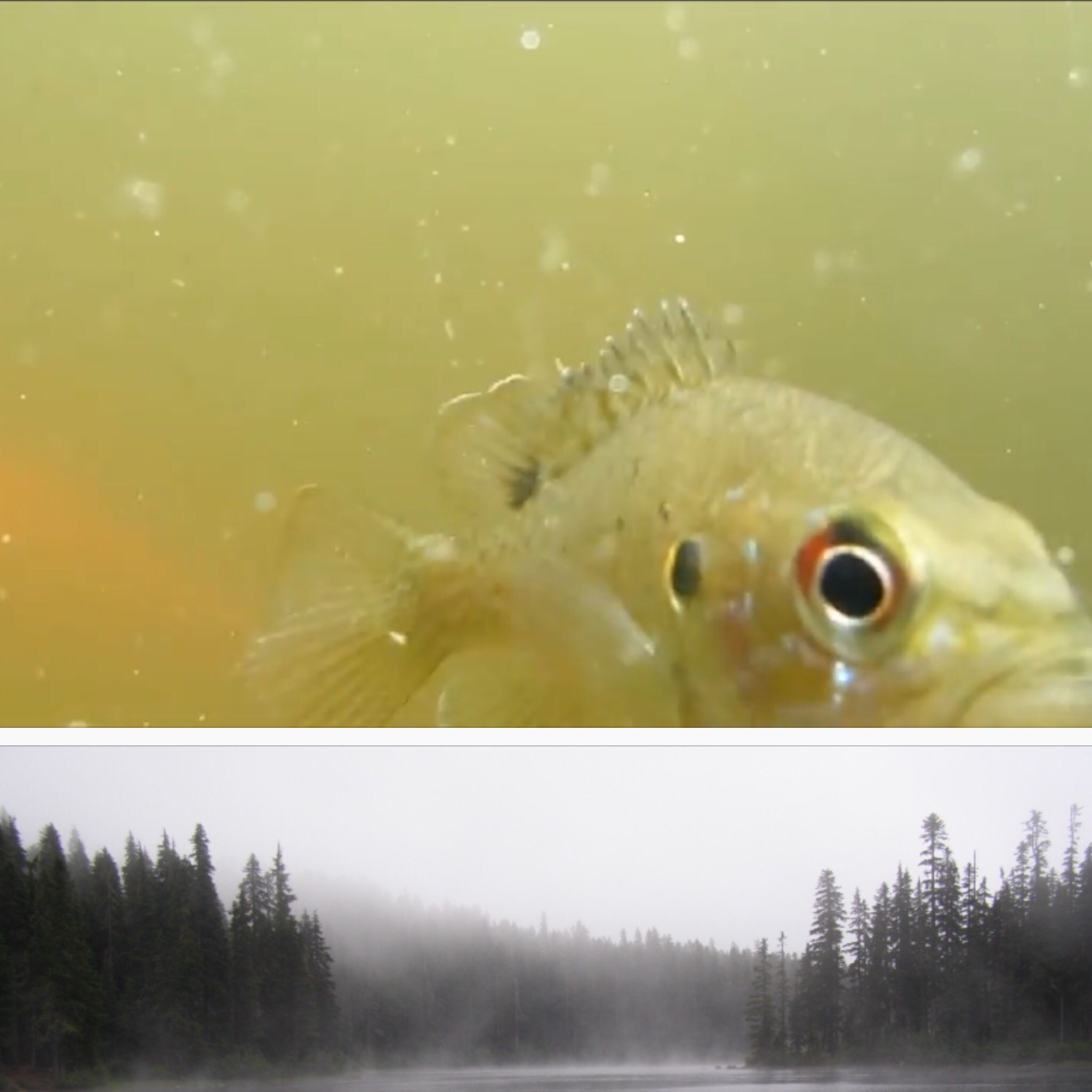 Reference Photos for the Sunfish and misty Lake that I used for Pam's artwork.