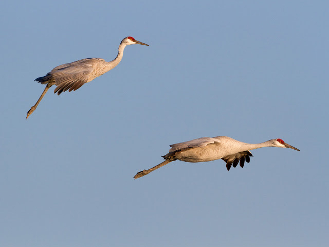 Sandhill cranes getting ready to land. Source: http://farnsworthscenics.blogspot.com/2012/12/?m=1