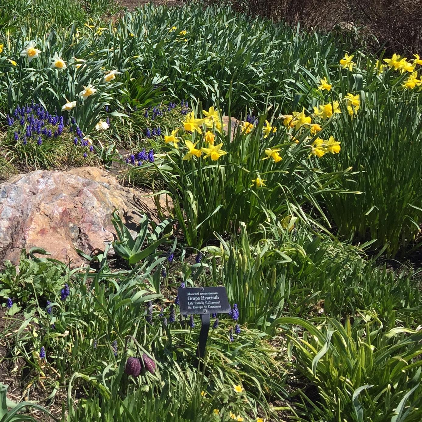 Daffodils and green leaves. Grateful for the signs of Spring.
