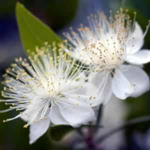 Myrtle Flower.