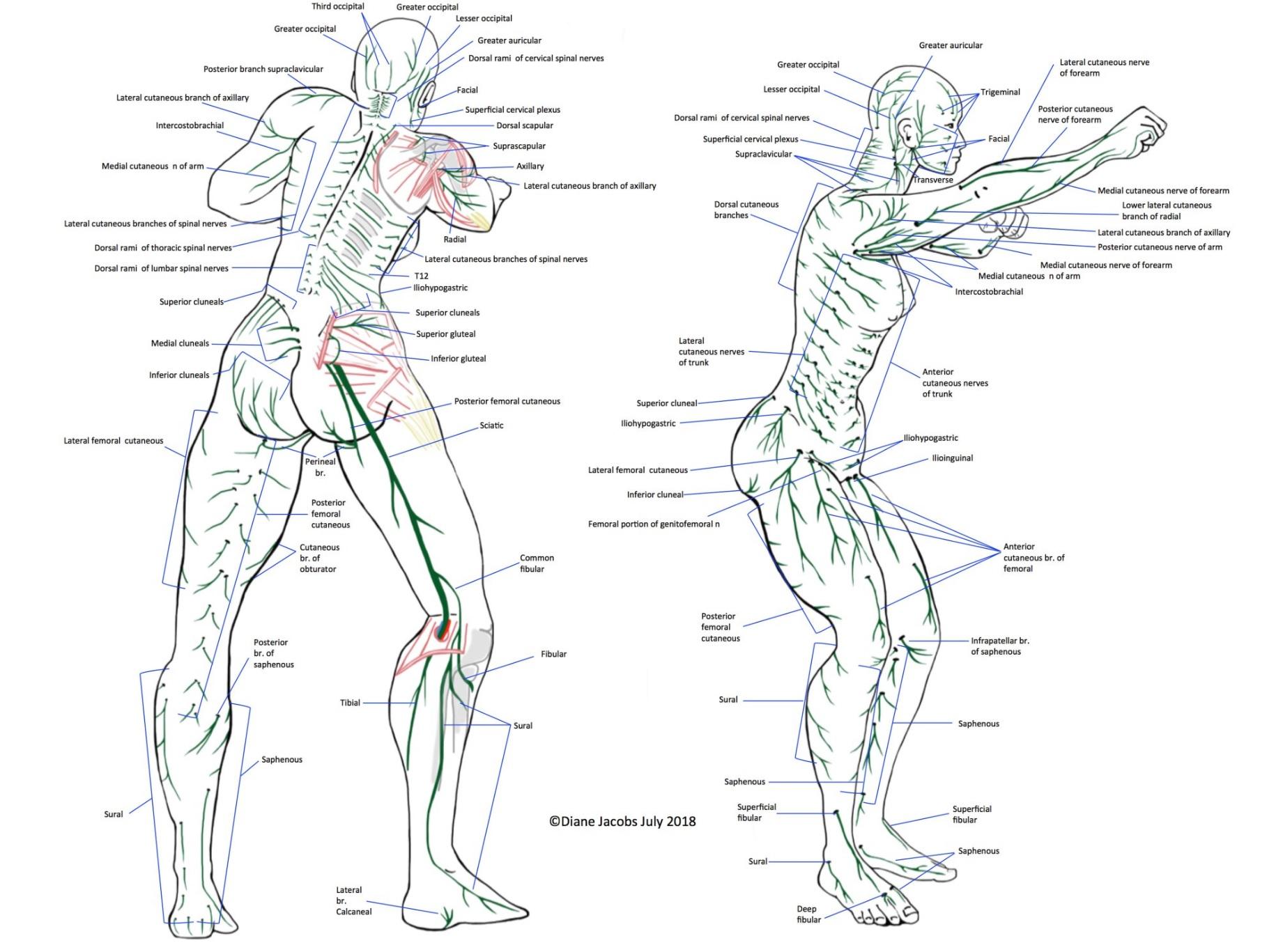 Nervous System Map - Full Body