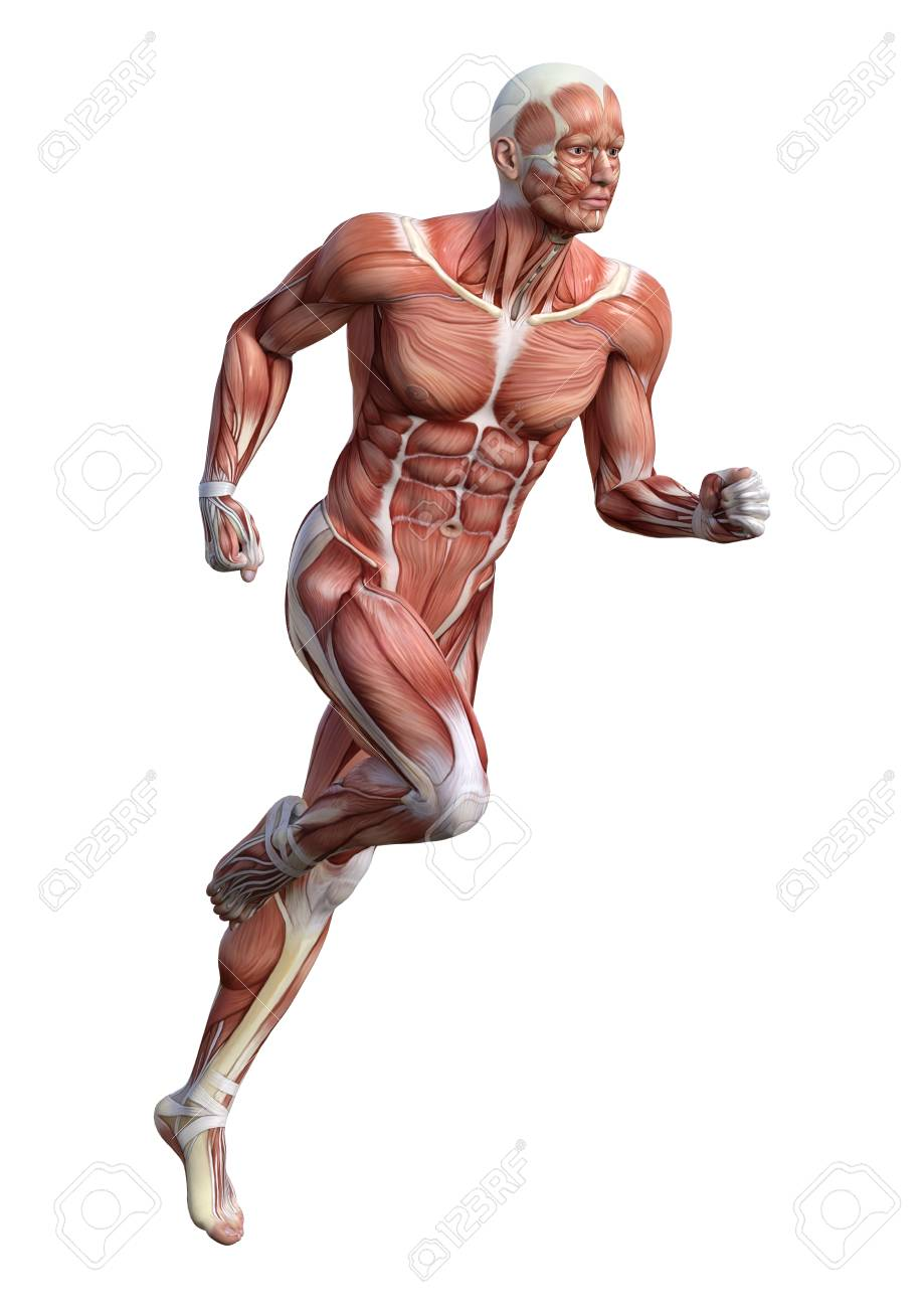 93560896-3d-rendering-of-a-male-anatomy-figure-with-muscles-map-exercising-isolated-on-white-background.jpg