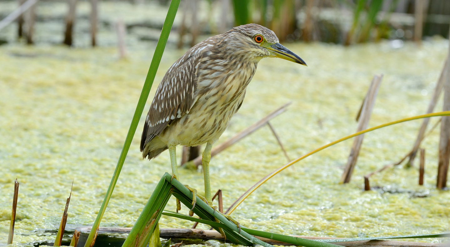 night heron.jpg