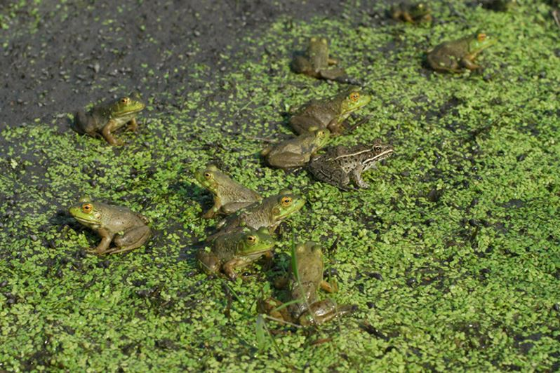 Many frogs thrive in the restored wetland habitats at the Dixon Waterfowl Refuge.