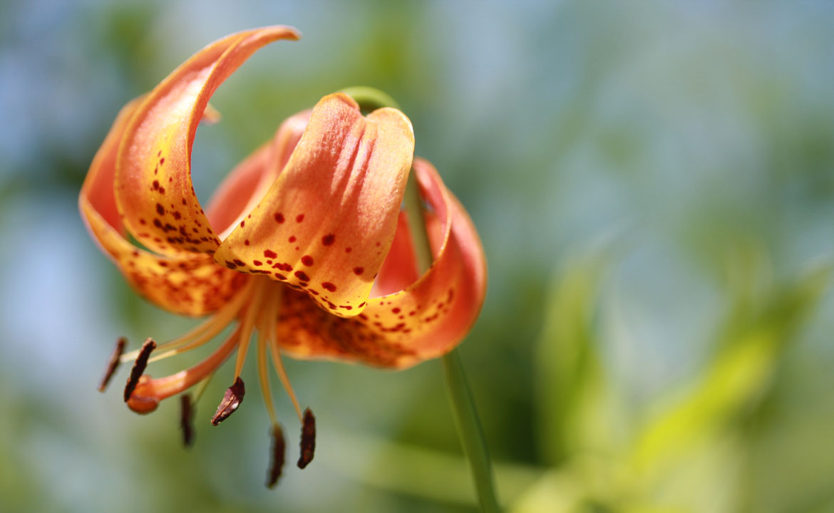 Michigan lily home page.jpg
