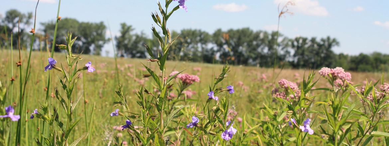 midewin-field-flowers.JPG