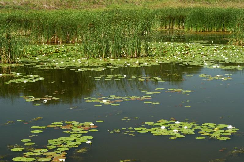 The lake restoration plan focuses on reestablishing healthy, high-quality hemi-marsh habitat at the Dixon Waterfowl Refuge. Photo by Gary Sullivan/TWI.
