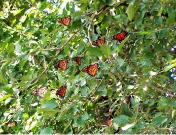 "Penny and Carol called spotting hundreds of Monarchs hanging together in trees ""a sight like no other."""