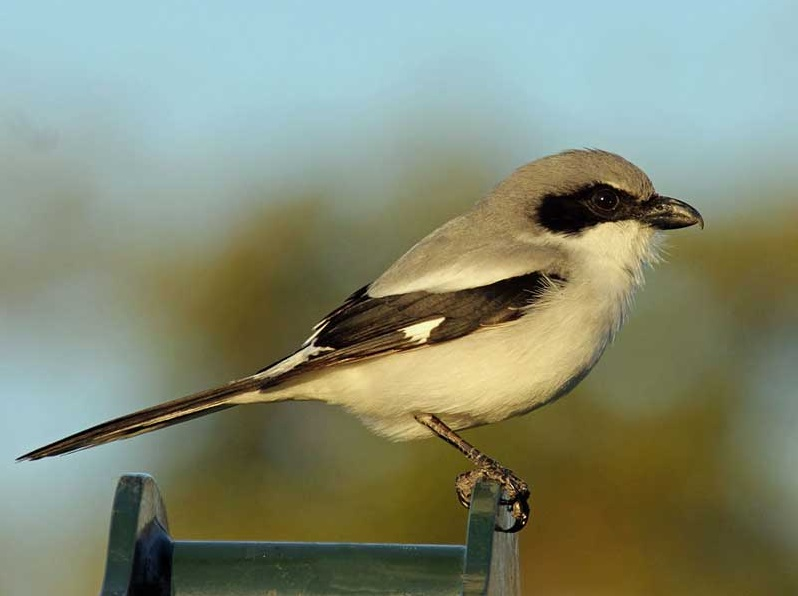 Loggerhead Shrikes are predatory songbirds with black masks and heavy hooked bills. Photo by Dick Daniels, Creative Commons