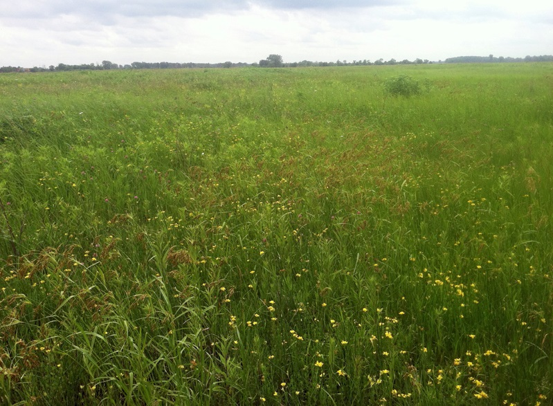 A view of sedges and forbs in bloom at the Lobelia Meadows project. Photo by Kirsten Rothenbucher.