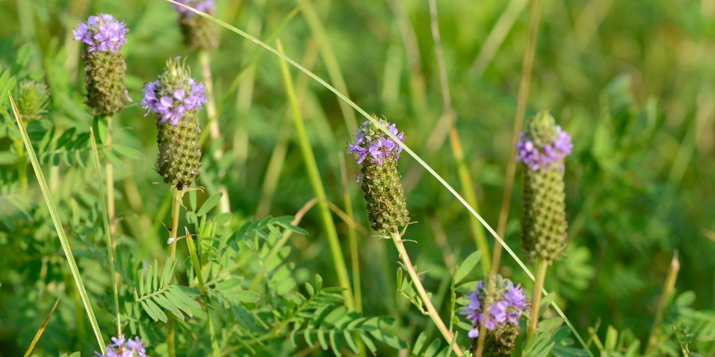 TWI has reintroduced federally endangered leafy prairie-clover at Midewin.