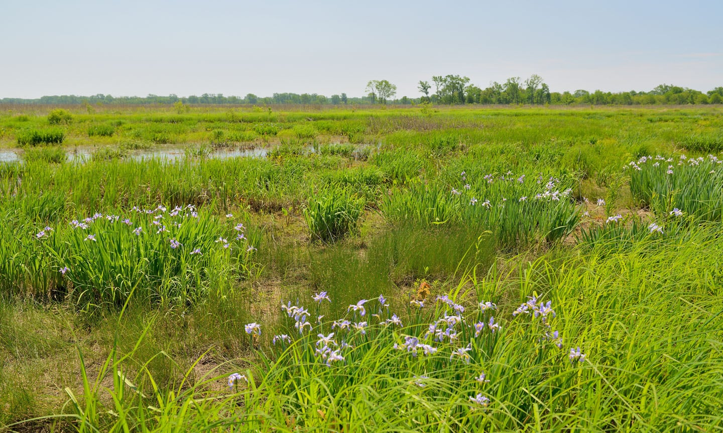 An example of a sedge meadow at Midewin National Tallgrass Prairie.