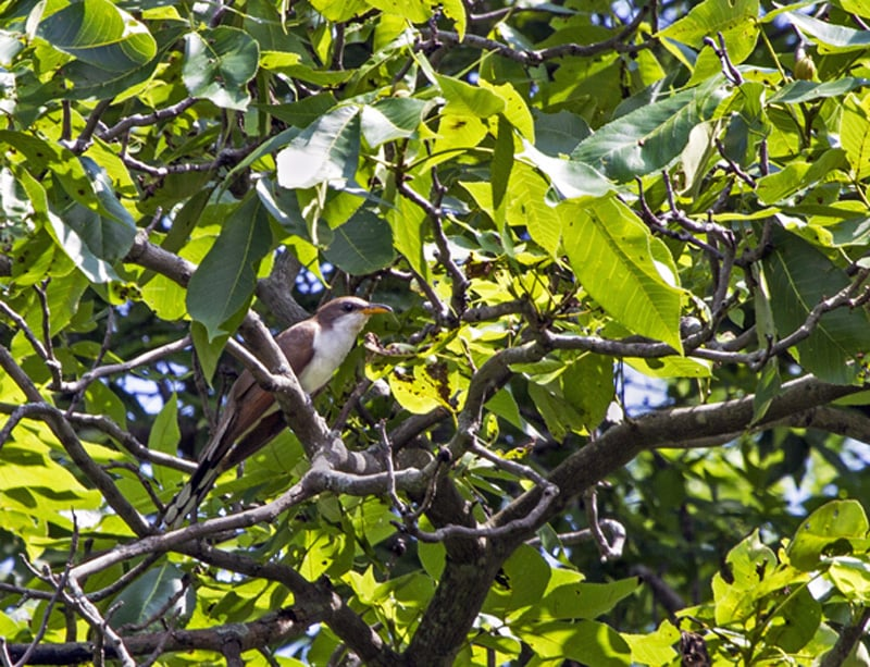 A Yellow-billed Cuckoo—a shy and uncommon species—was captured on film by participant Emma England. In total, 108 bird species were observed or heard during the BioBlitz, including several species not previously known to occur at the Dixon Refuge in summer.