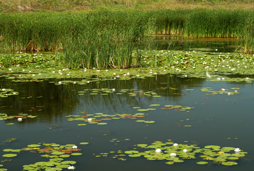 An example of healthy hemi-marsh at TWI's Dixon Waterfowl Refuge.