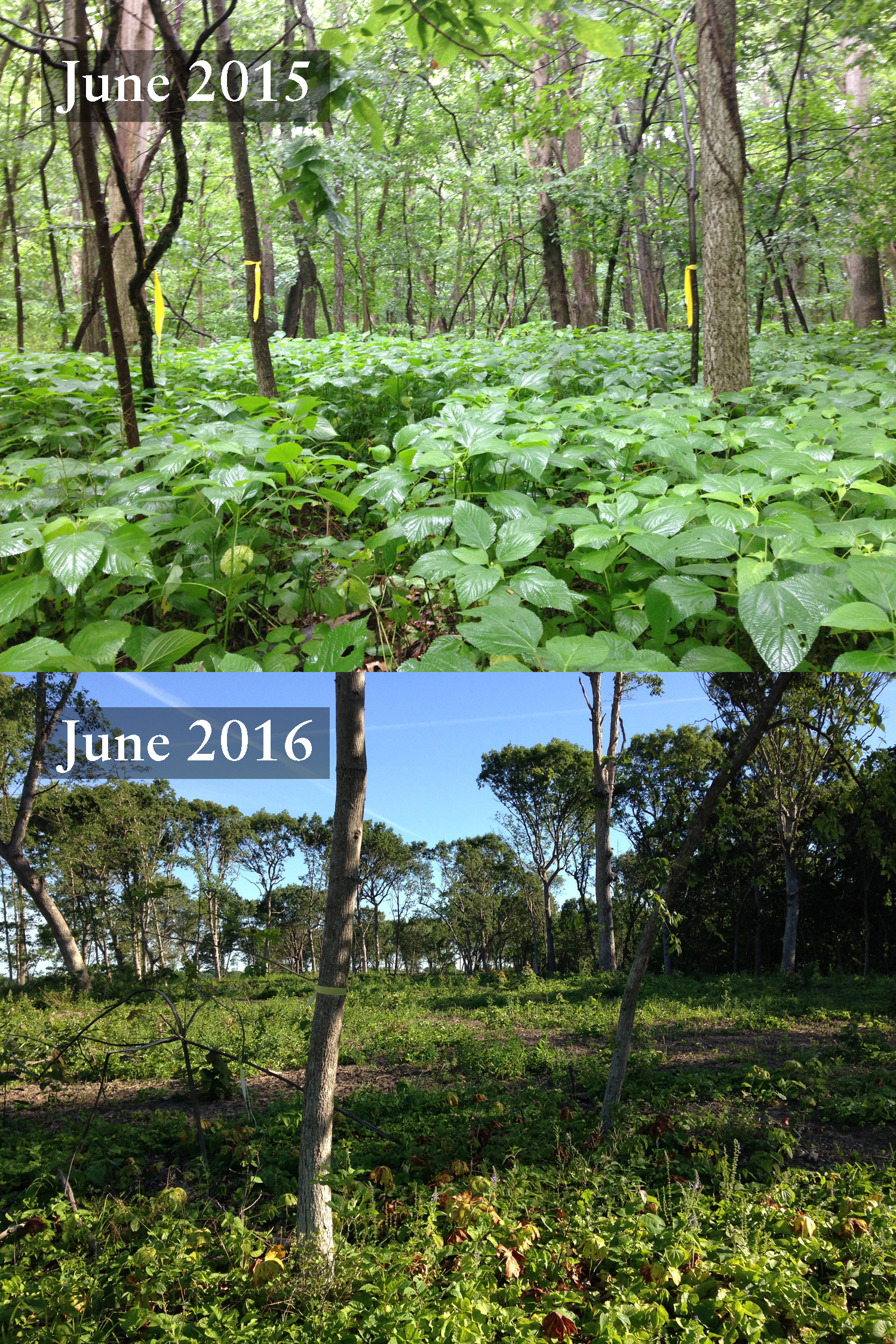 Bird surveying Point 7 in one of the savanna restoration zones, before restoration began in 2015 and after thinning of small and weedy trees was completed in 2016.