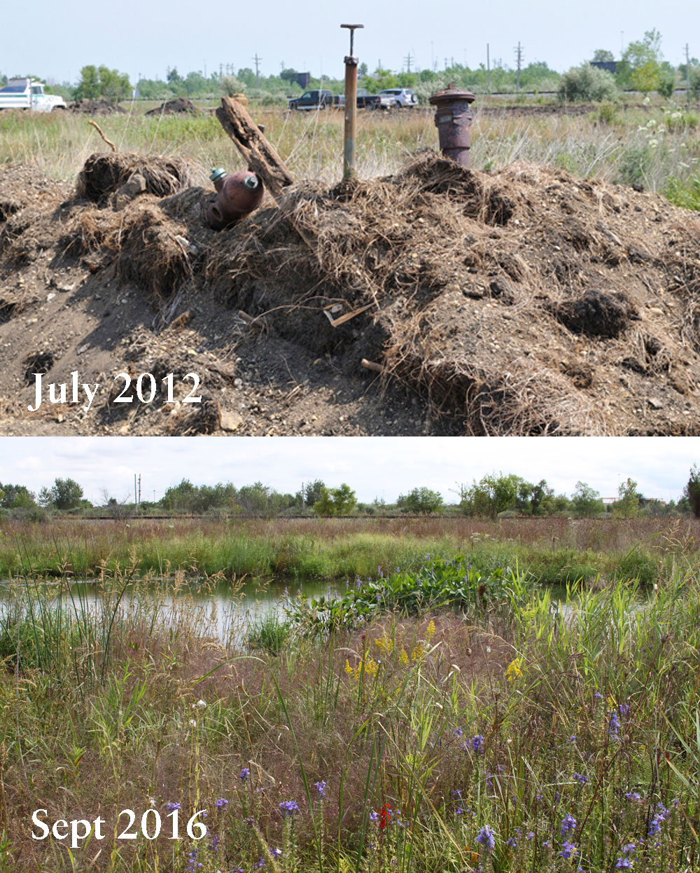 Before and after: Over the past four years of TWI's restoration work at Lobelia Meadows, infrastructure, bare ground, and weedy species have been replaced with healthy wetland and prairie habitats and a great diversity of wildflowers.