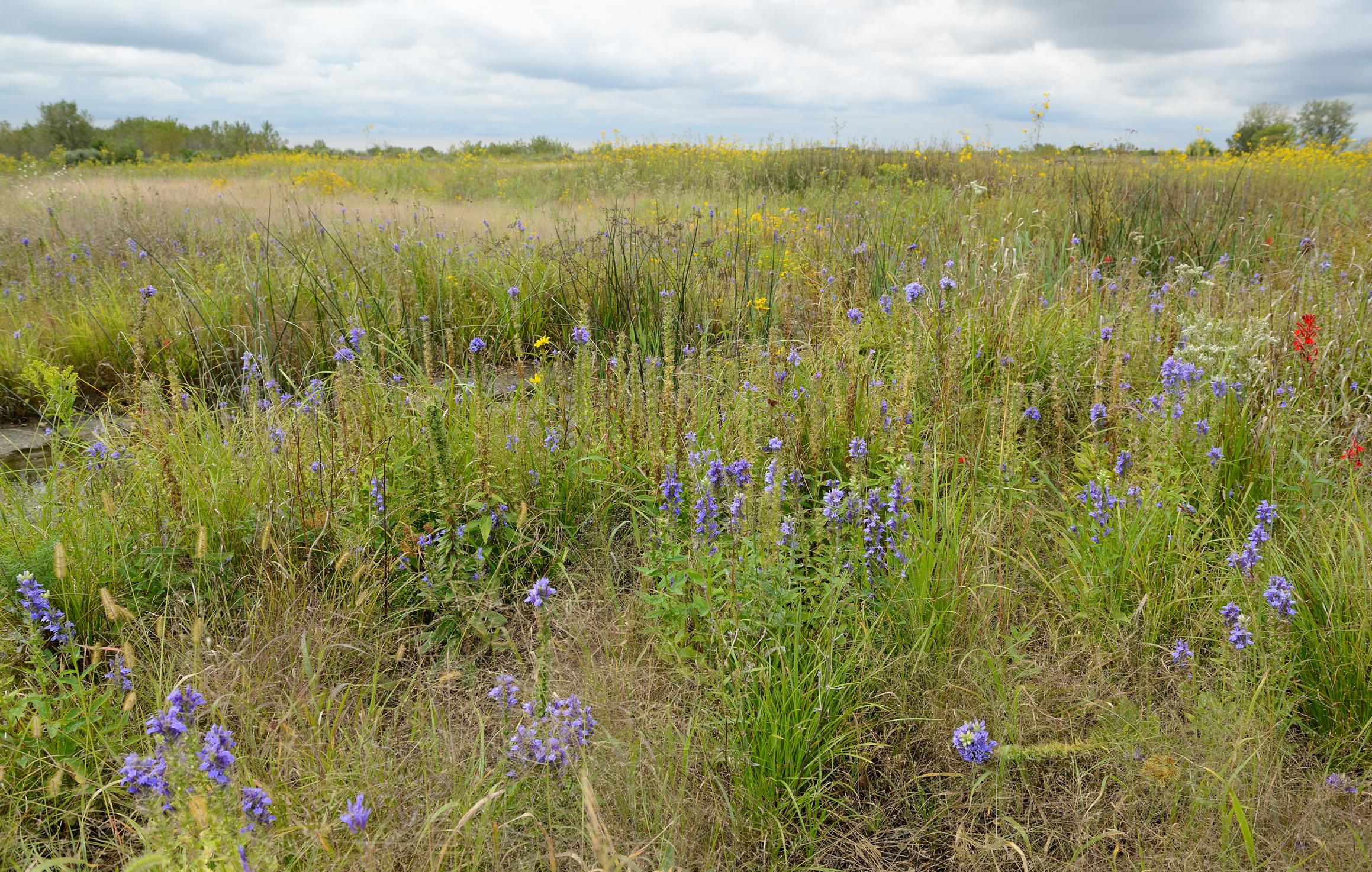 After four years the Lobelia Meadows restoration has fulfilled its name. Many areas of the site are covered with native lobelias: cardinal flower (red), great blue lobelia, and pale spiked lobelia (not pictured here). Photo by Gary Sullivan/TWI.