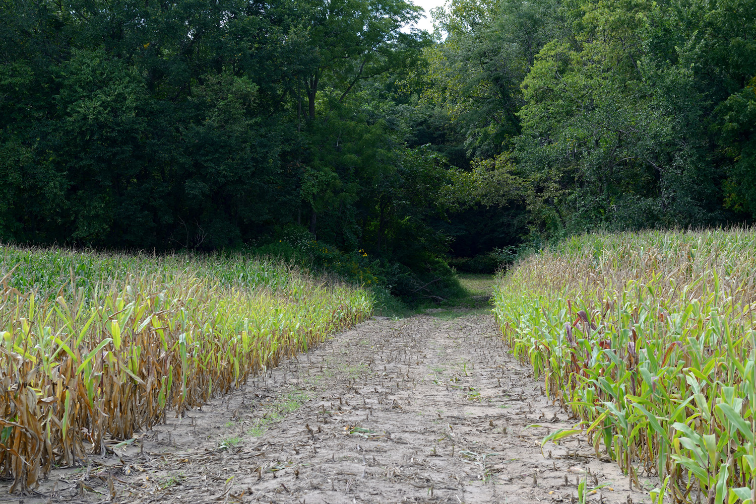 Cornfields at the Sandy Hollow site, before restoration began.