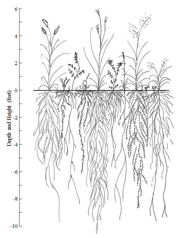 This root illustration by Dr. Sullivan shows the depth and height of various prairie species. Many native prairie species have more biomass below the surface than above, which supports carbon storage.