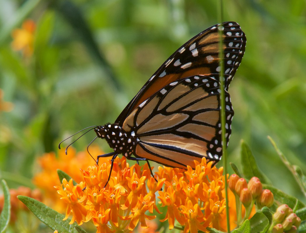 Monarch butterfly drinking nectar on butterfly weed, a common native milkweed species. Photo by Bob Chinn.