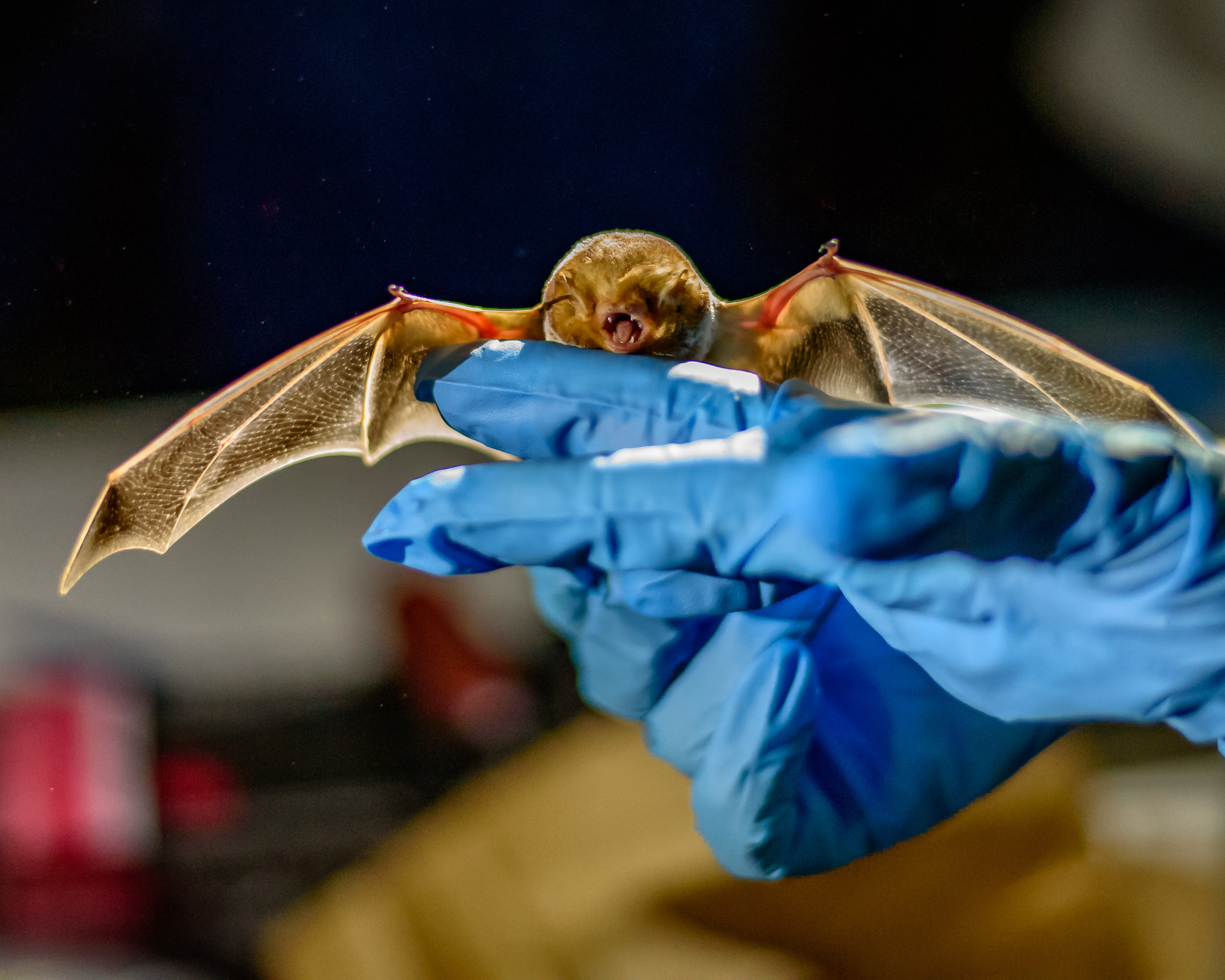 Participants were treated to up-close views of bats like this eastern red bat caught in mist-nets set up by researchers with the Illinois Bat Conservation Program. Photo by Rafi Wilkinson.