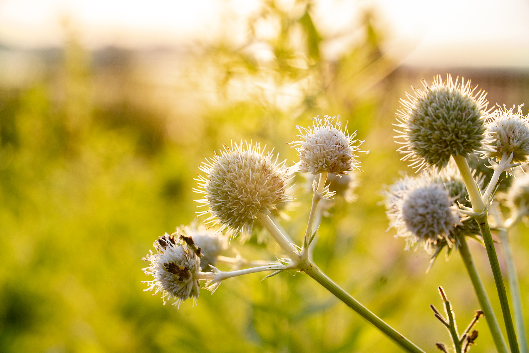 Rattlesnake master flowerheads graced with multiple ambush bugs in the early-morning light. Photo by Lindsay Appel.