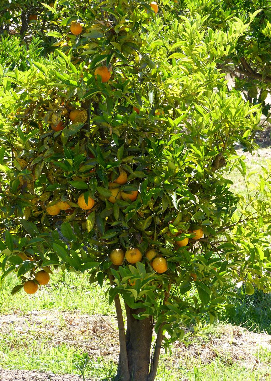 Citrus trees on Teresa's farm