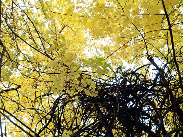 yellow.tree.jpg