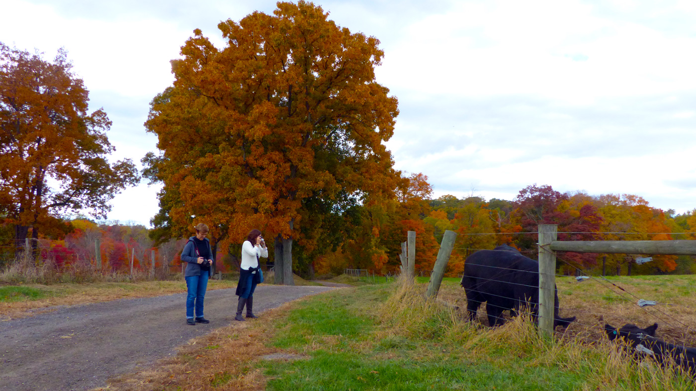 Marta & Illy admiring the cows at Stone Barns