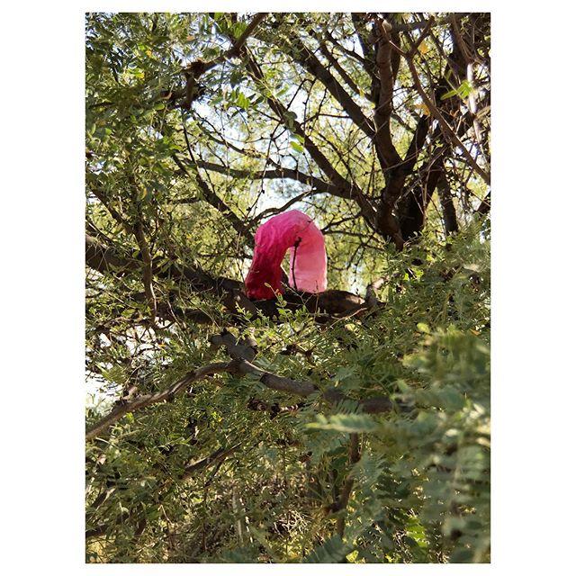 The brightest mesquite inchworm . . . . . . . . . . . . . . . #art #contemporaryart #contemporarypainting #contemporarysculpture #sculpture #painting #installationart #artinstallation #performanceart #plastersculpture #artinnature #artoutside #artinthedesert #gradient #pink #arch #inchworm #artinthetrees #tucson #arizona #artresidency #emergingartist #newyorkartist #juliablume
