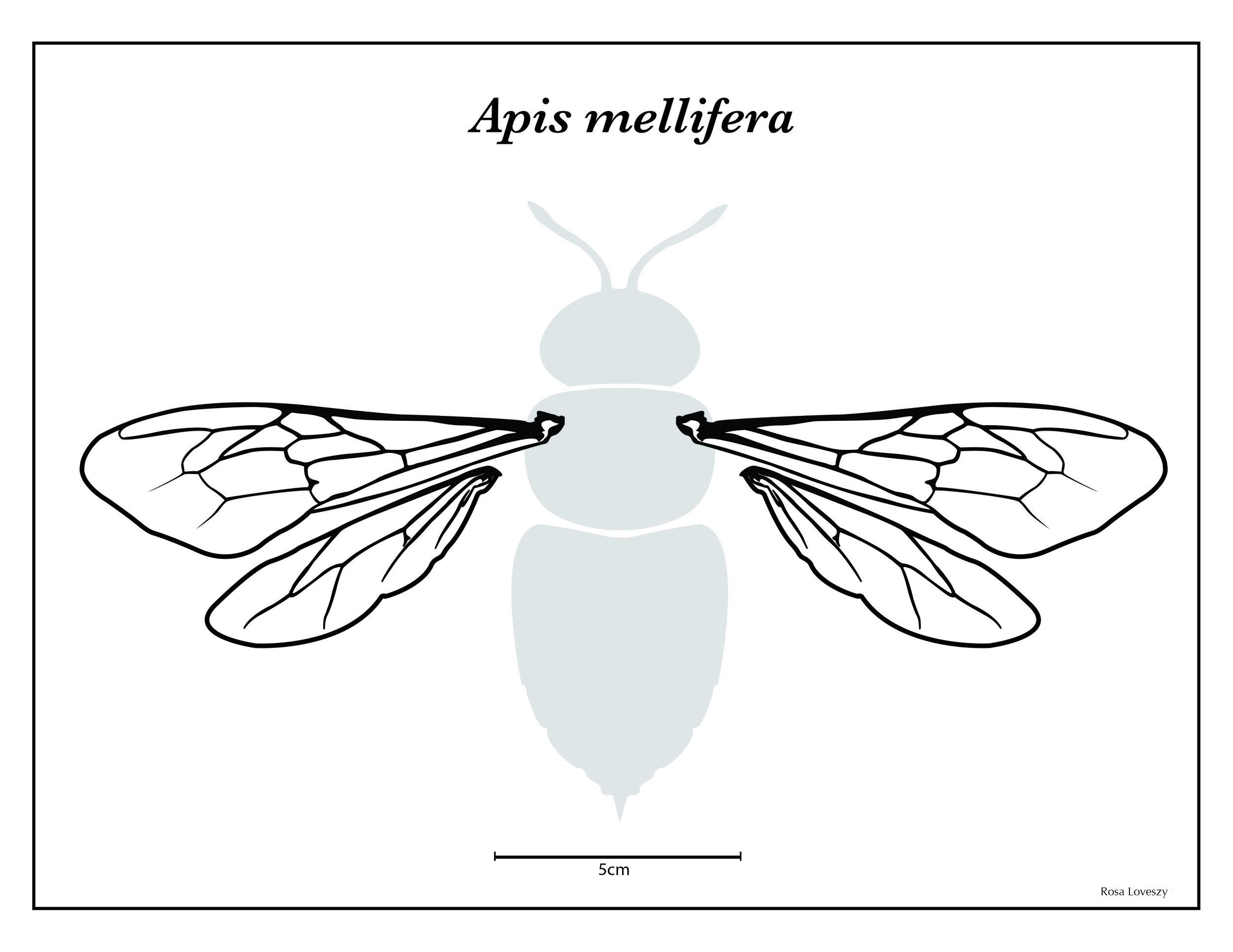Apis mellifera