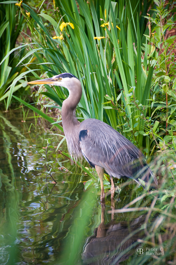 Great blue heron, taken with  Nikon D300  and  Nikkor 18-200mm .