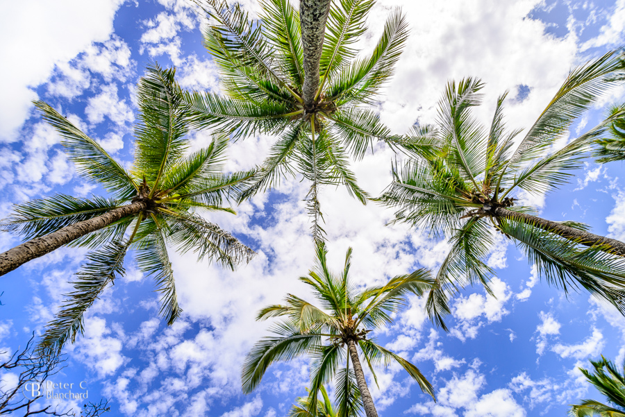 Looking up at the sky through palm trees on Maui, Hawaii.
