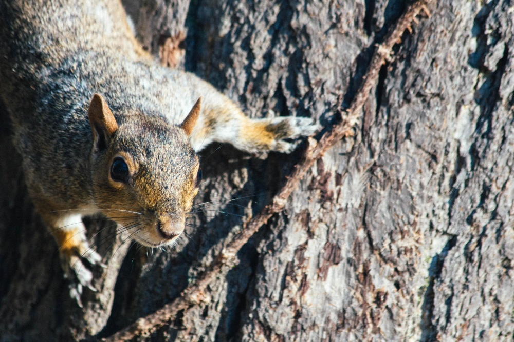 The defiant Mr. Rednik…or is it Mrs. Rednik? How do you tell the gender of a gluttonous squirrel?