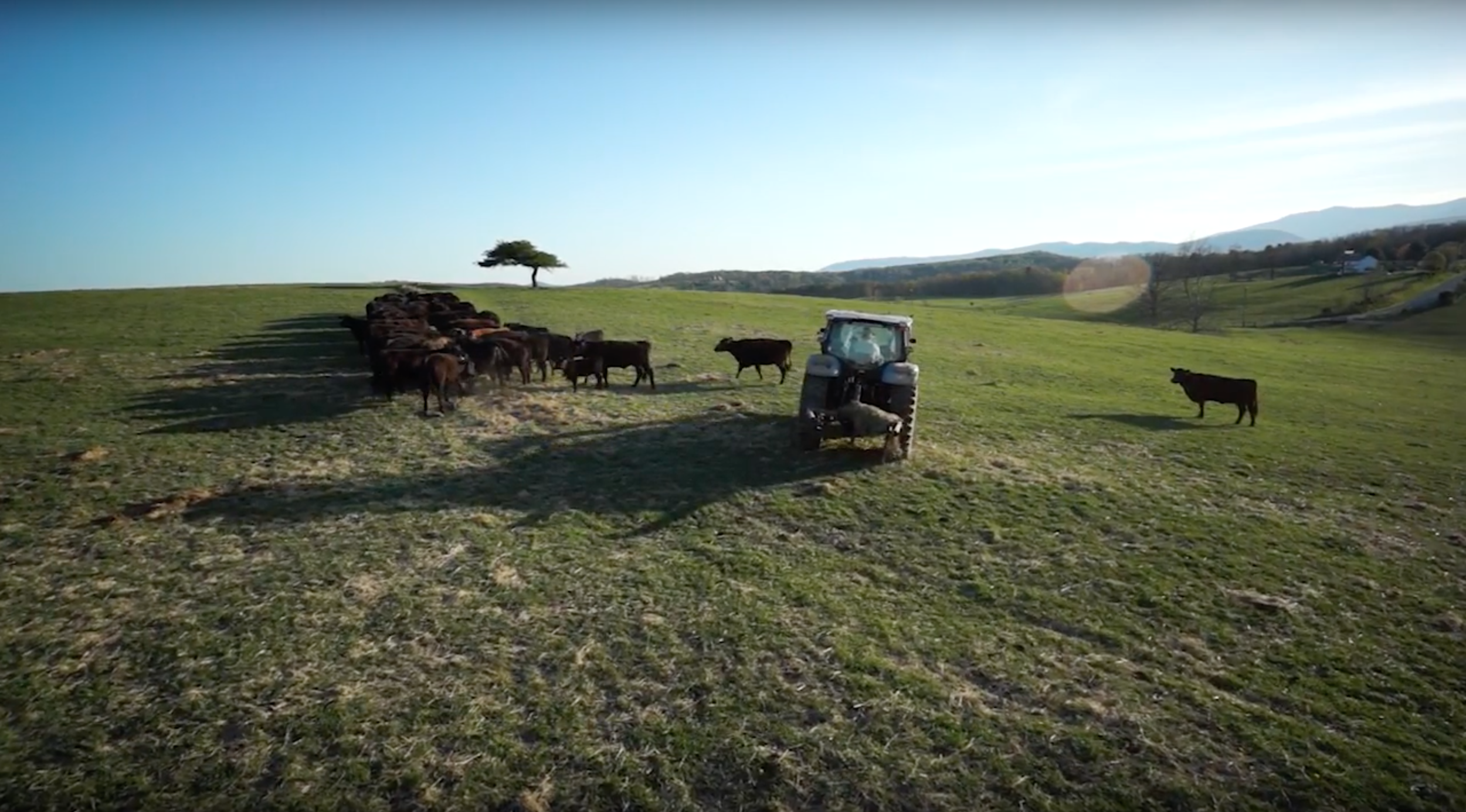 A family run farm,The Bagley Family has hundreds of cows that they care for every single day that help us provide fresh never frozen beef.