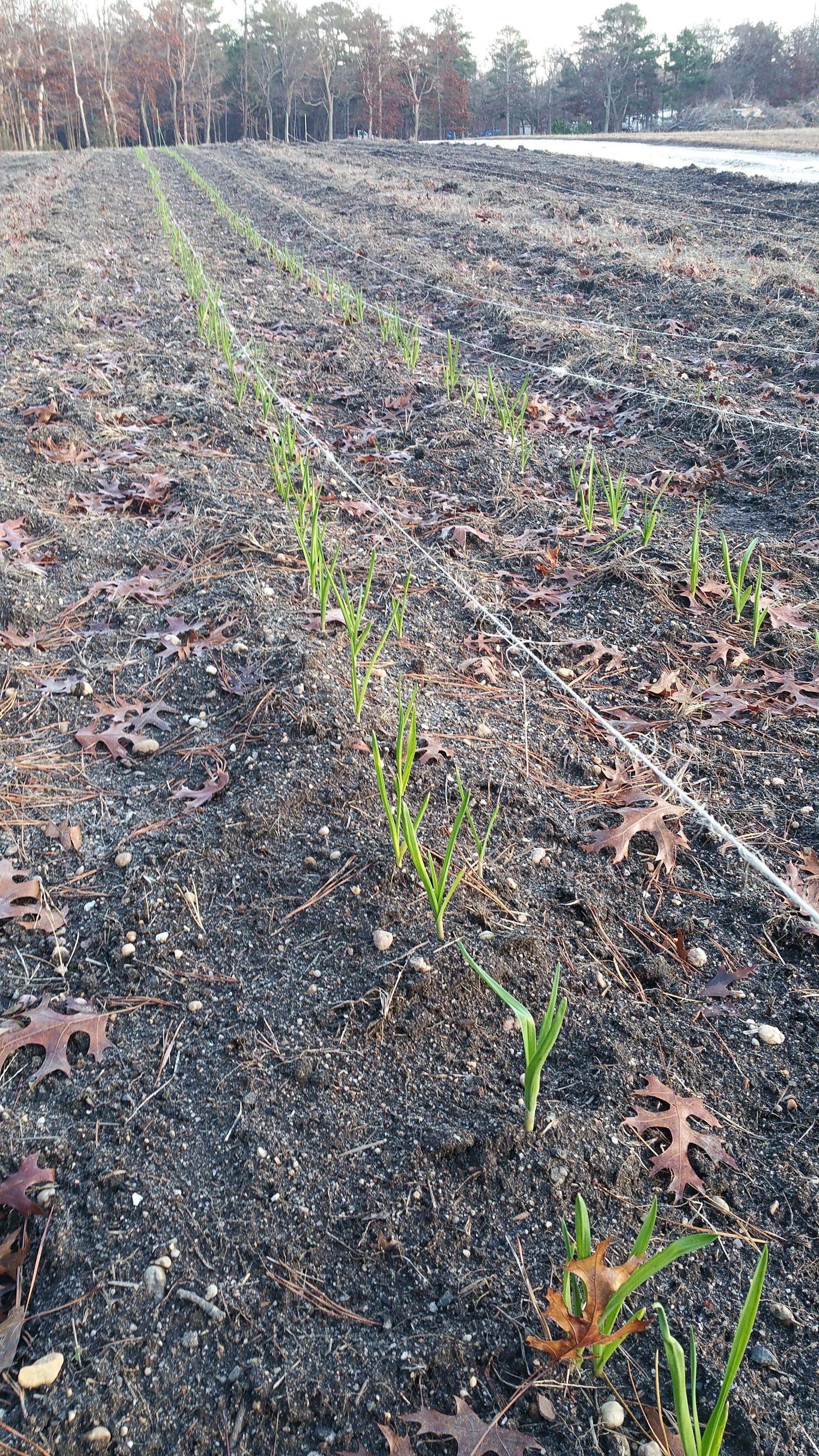Garlic dormant in late November 2015