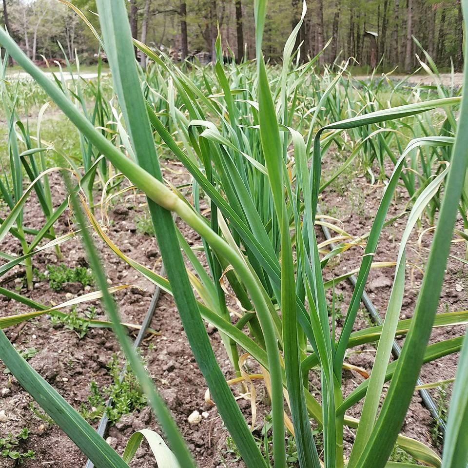Garlic scape starting to form on a hard-neck garlic plant. The hard-neck garlic forms scapes, soft-neck garlic often does not.