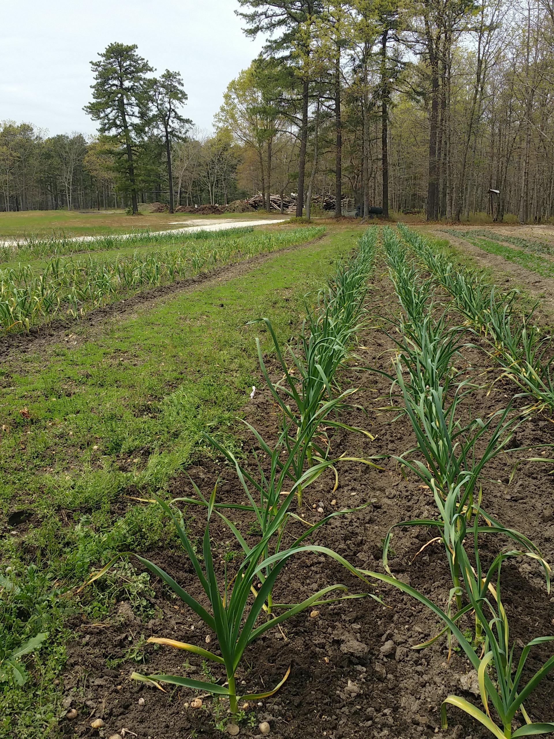 Garlic in May 2016