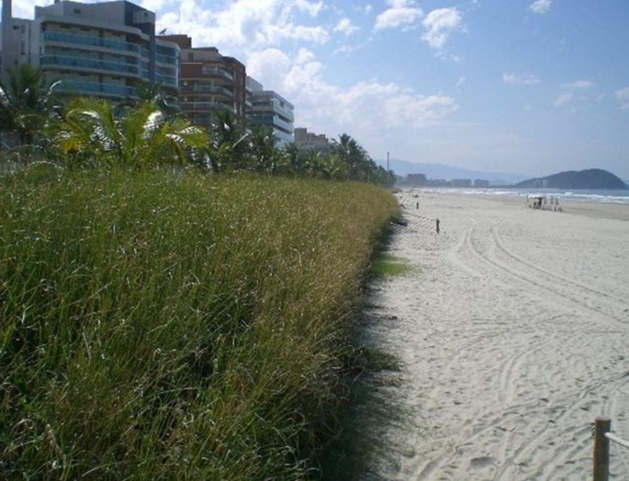 Vetiver Grass Grown as a Solution to Beach Erosion and Toxicity