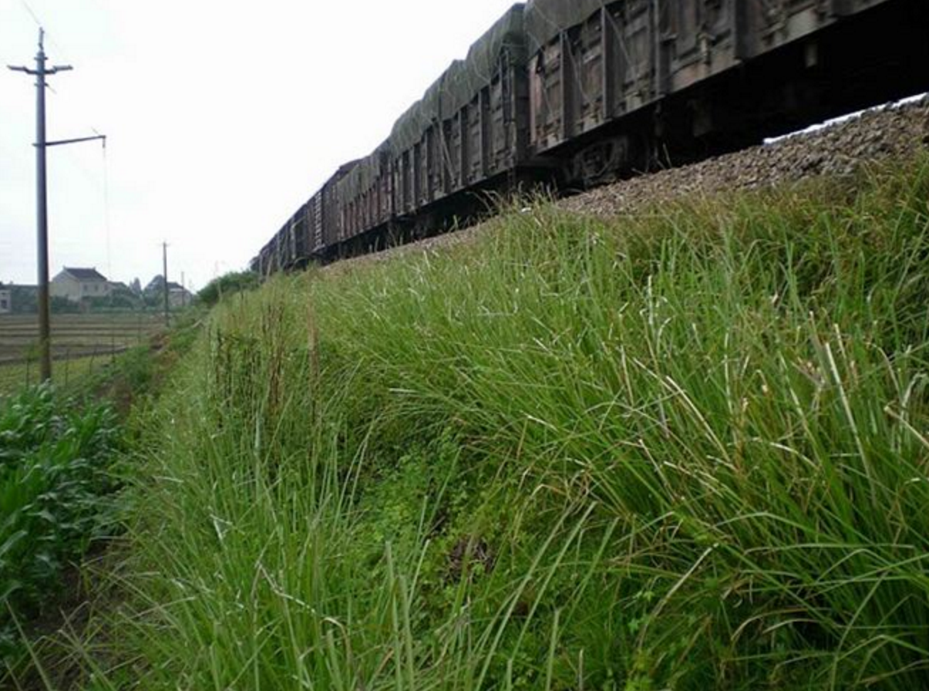 Vetiver Grass System Designed for Railroad Stabilization By Vetiver Farms Hawaii