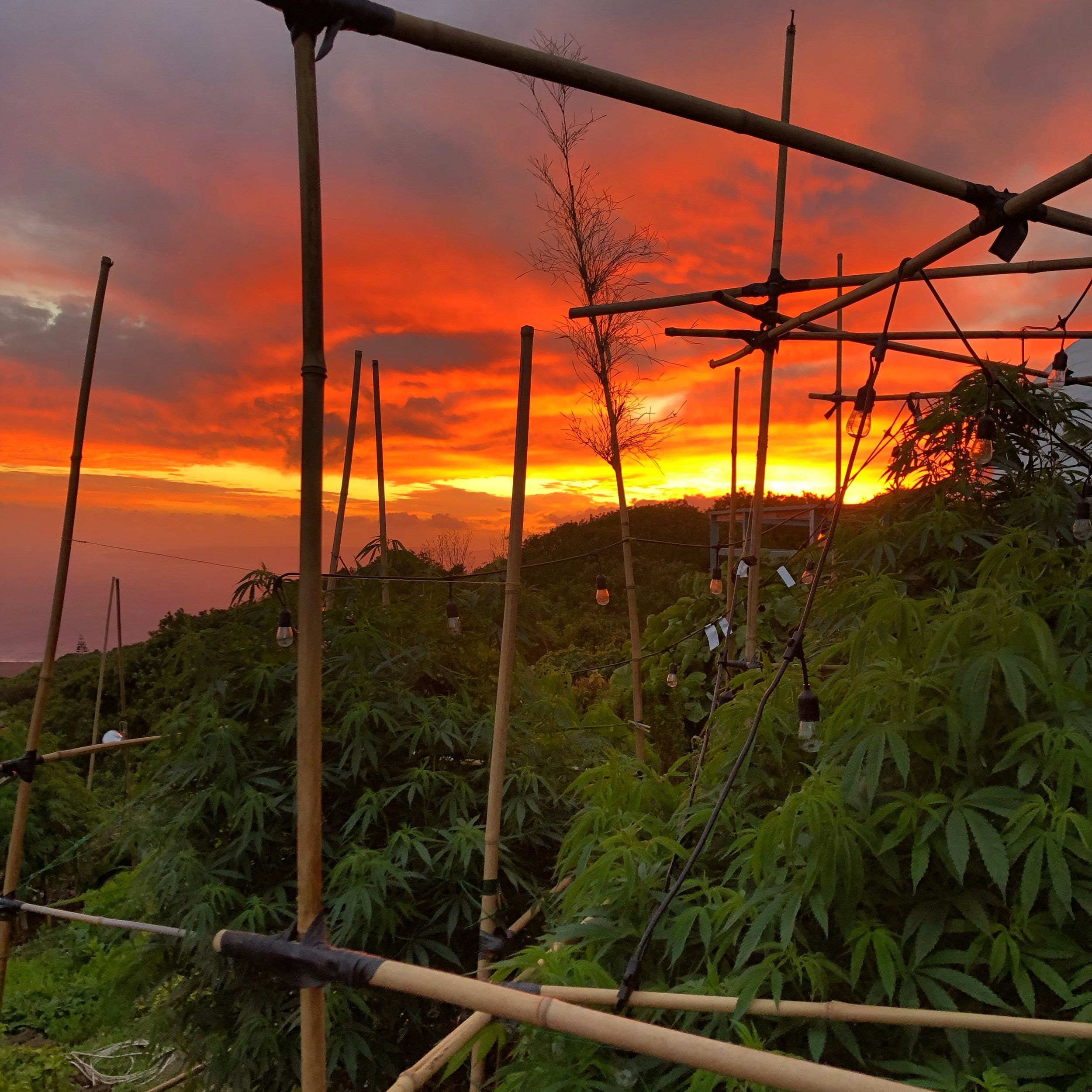 maui-hemp-farm-sunset