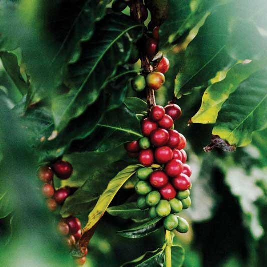 maui-coffee-berries-1.jpg