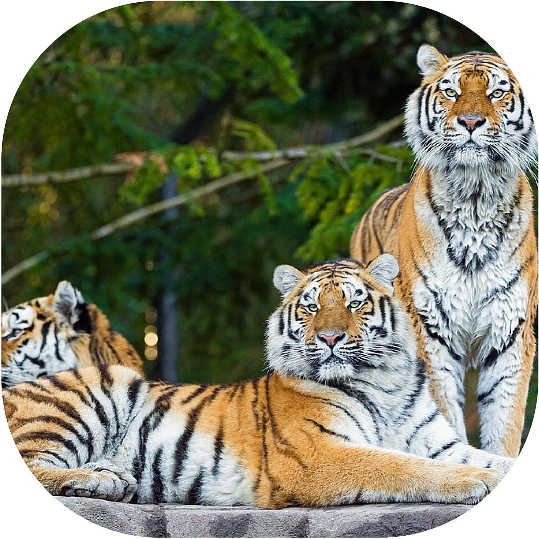 tigerssomaticexperiencingarielgiarretto