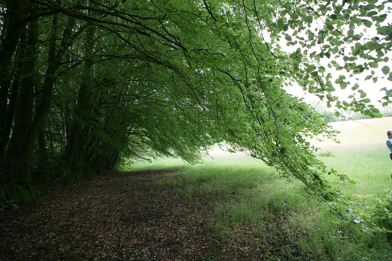 beautiful beech trees