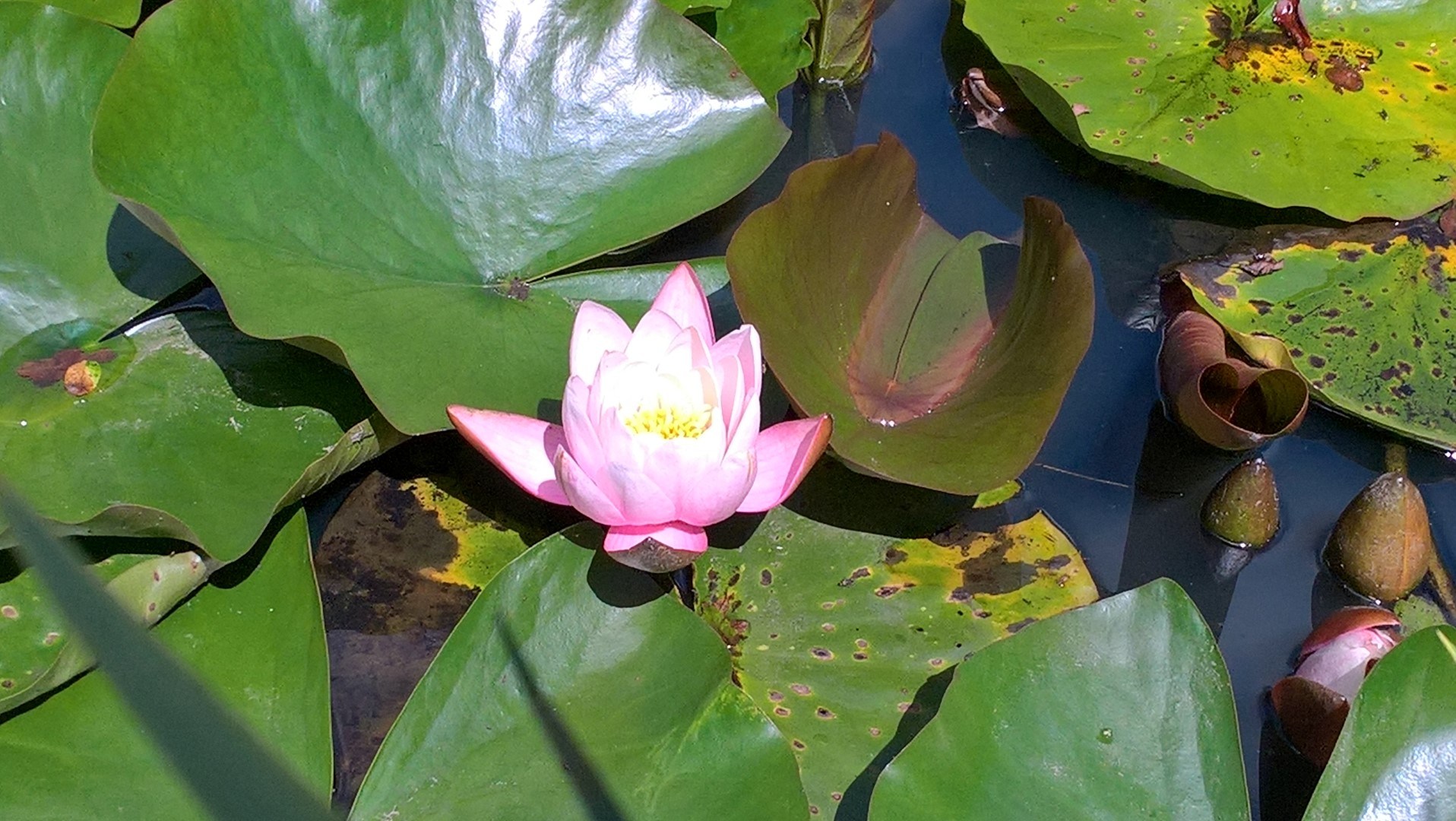 The gorgeous lily pads