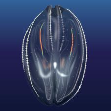 Comb Jellyfish (Ctenophora)